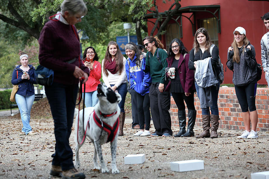 "Students react as Jackie Snyder and her dog, ""Spot,"" a Border Collie-mix, demonstrate a scent detecting exercise at St. Mary's University, Monday, Nov. 30,2015. Members of the Alamo Nose Hounds club demonstrate their dogs' abilities to psychology students learning about classical conditioning principles. Photo: JERRY LARA, Staff / San Antonio Express-News / © 2015 San Antonio Express-News"