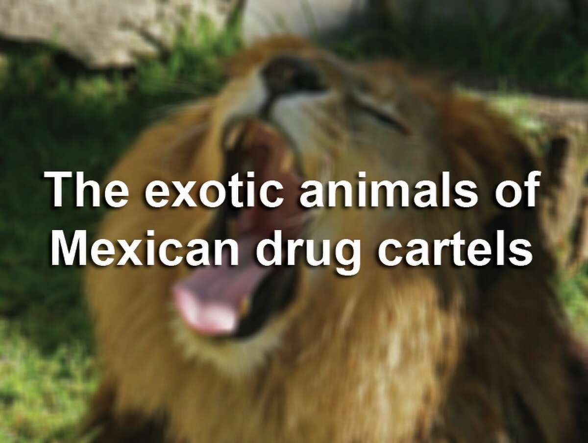 Scroll through the slideshow to see the exotic animals - including large cats, monkeys and others - flaunted by Mexican drug cartels.