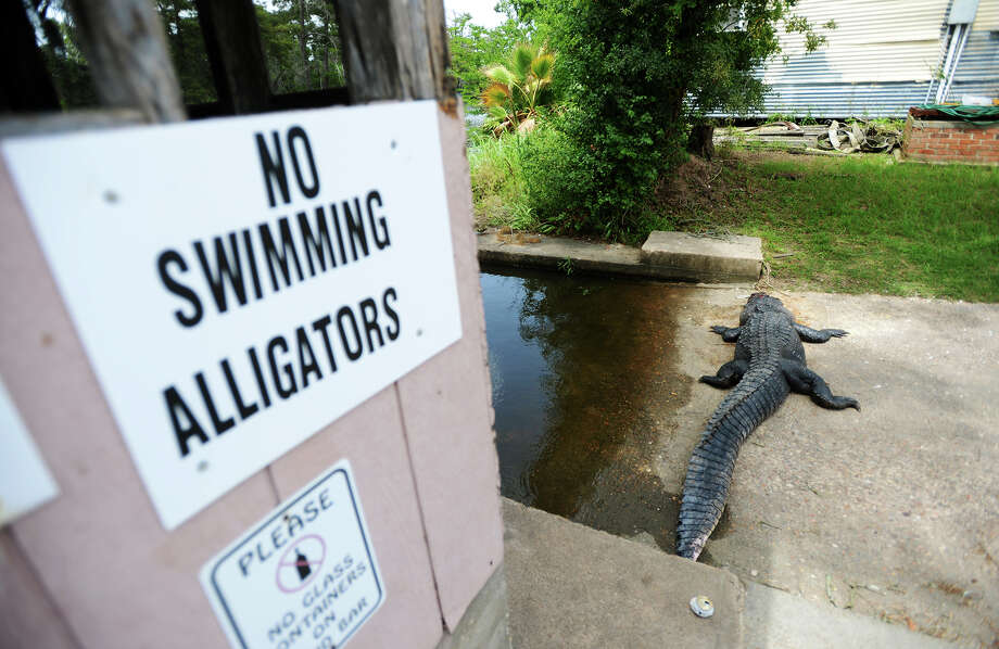 GATOR ATTACK: Tommie Woodward, 28, of Orange, was killed July 3 in the state's first fatal gator attack in 200 years after he jumped into the water at Burkart's Marina in Orange. On July 6, a man killed an 11-foot gator he claimed was responsible for the death. Authorities decided not to charge the man after Woodward's remains were found in the animal. Photo taken Monday, July 6, 2015 Jake Daniels/The Enterprise Photo: Jake Daniels / ©2015 The Beaumont Enterprise/Jake Daniels