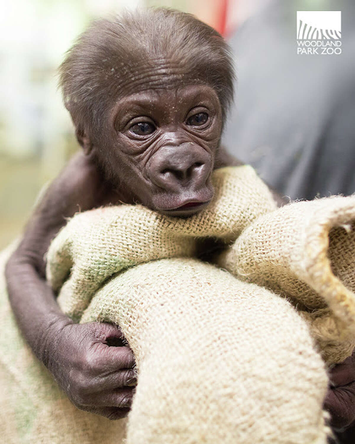 An infant gorilla born at Seattle's Woodland Park Zoo on Nov. 20, pictured a month after her birth in a provided photo.