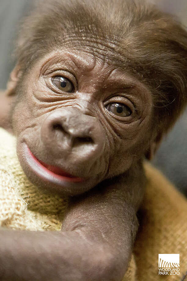 An infant gorilla born at Seattle's Woodland Park Zoo on Nov. 20, pictured a month after her birth in a provided photo. Photo: Jeremy Dwyer-Lindgren, Jeremy Dwyer-Lindgren/Woodland Park Zoo / Jeremy Dwyer-Lindgren / Woodland Park Zoo