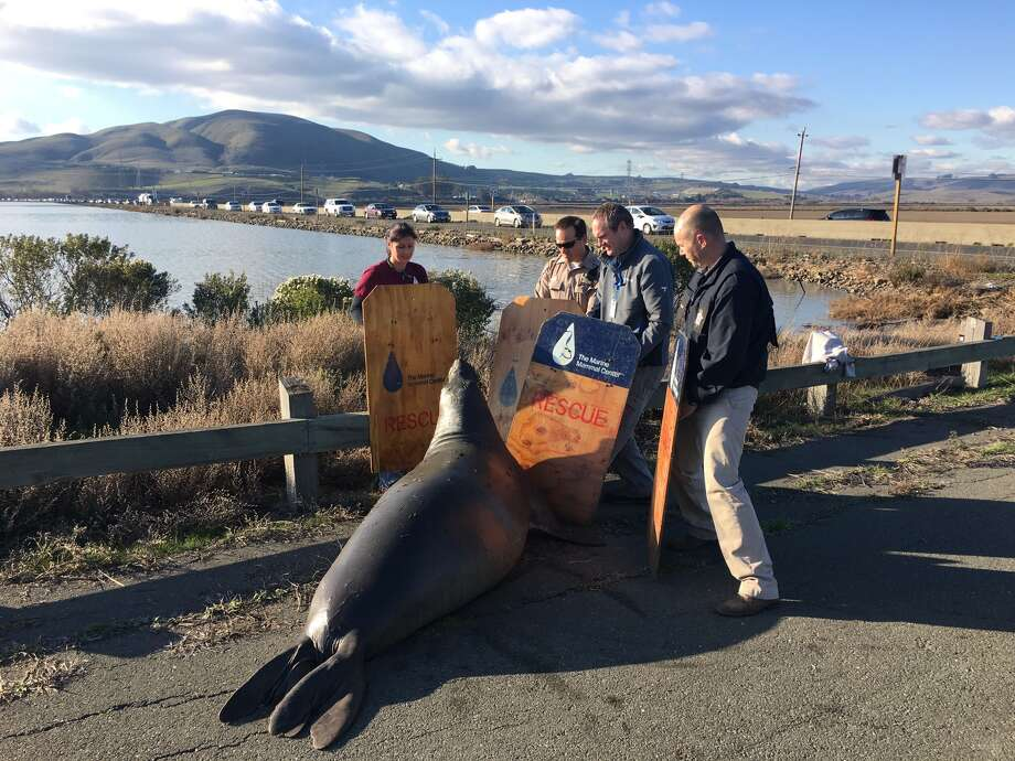 Marine Mammal Center volunteers and the California Highway patrol attempt to corral an elephant seal that attempted to cross Highway 37 in Marin.