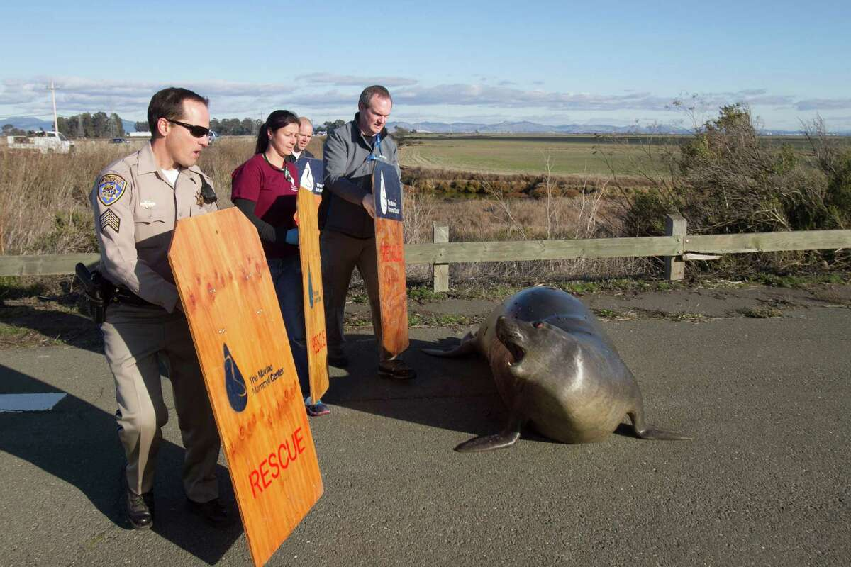 Sgt. Ross Ingels, left, of the California Highway Patrol, and members of the Marine Mammal Center, attempt to capture an elephant seal after it tried to cross Highway 37 in Marin County on Monday, December 28, 2015.