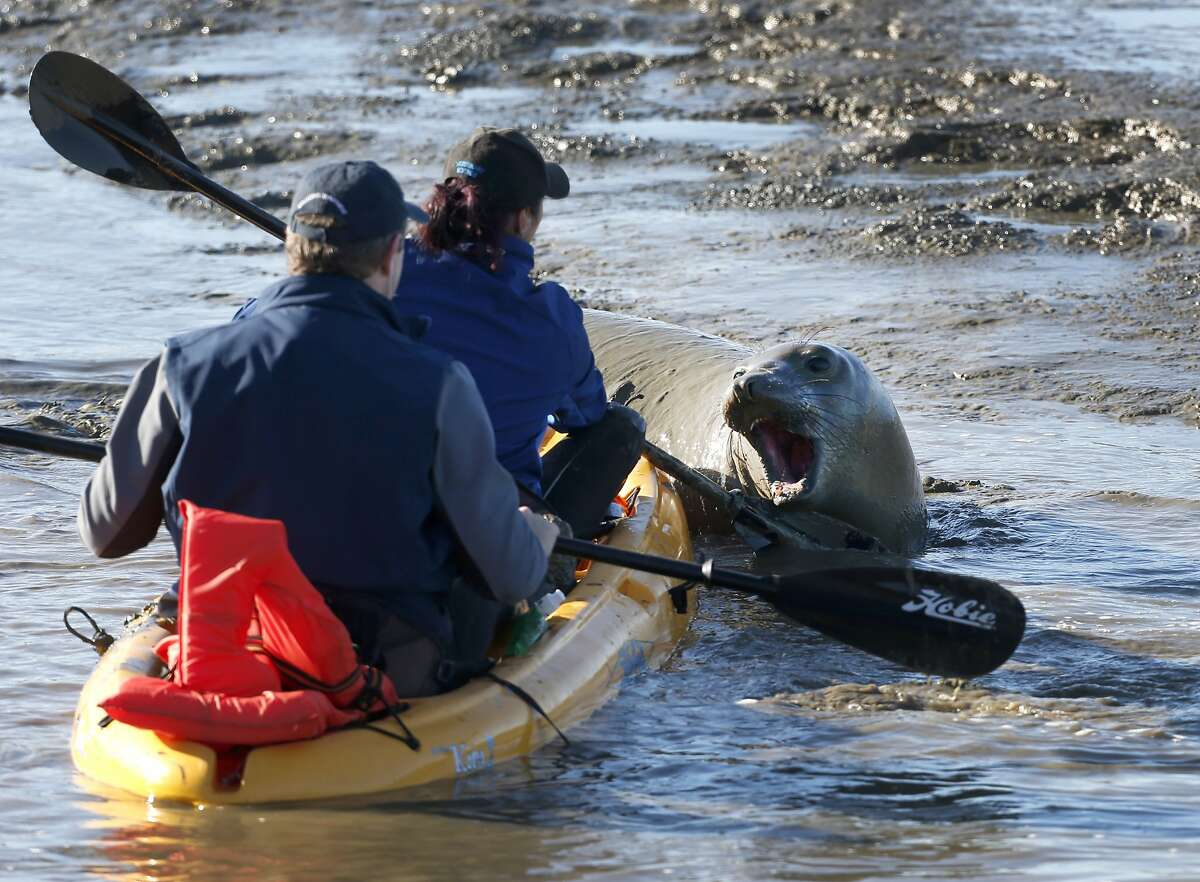 A wayward female elephant seal growls at Dave Zahniser and Barbie Halaska, from the Marine Mammal Center, as the biologists make an unsuccessful attempt to coax the 900 lb. pinniped back into the bay off Highway 37 near Highway 121 in unincorporated Sonoma County on Tuesday, Dec. 29, 2015.