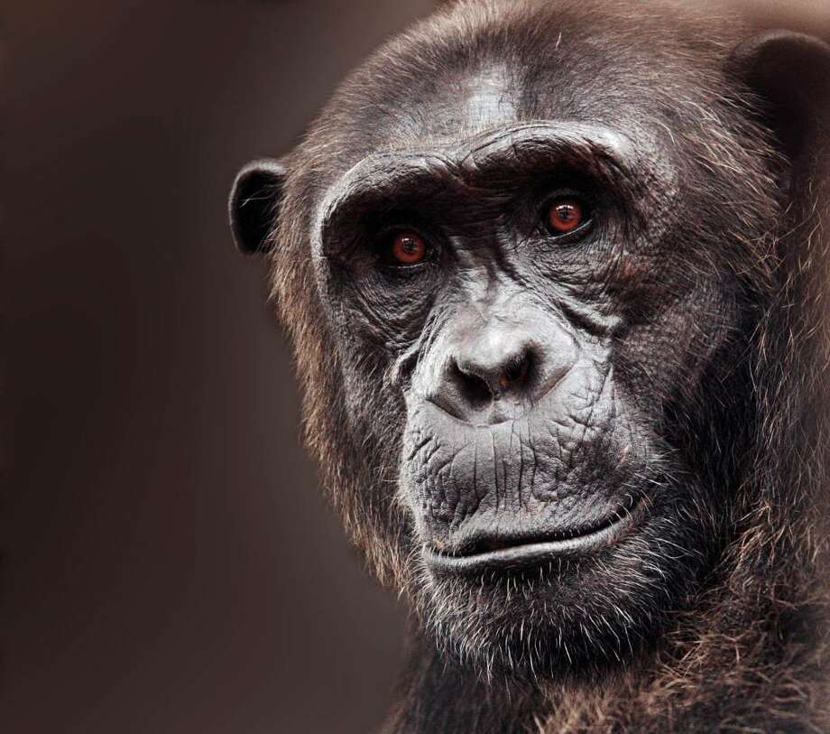 Chimpanzee B.A. at the Tchimpounga Sanctuary in Republic of Congo. Photo: Contributed Photo / The News-Times Contributed