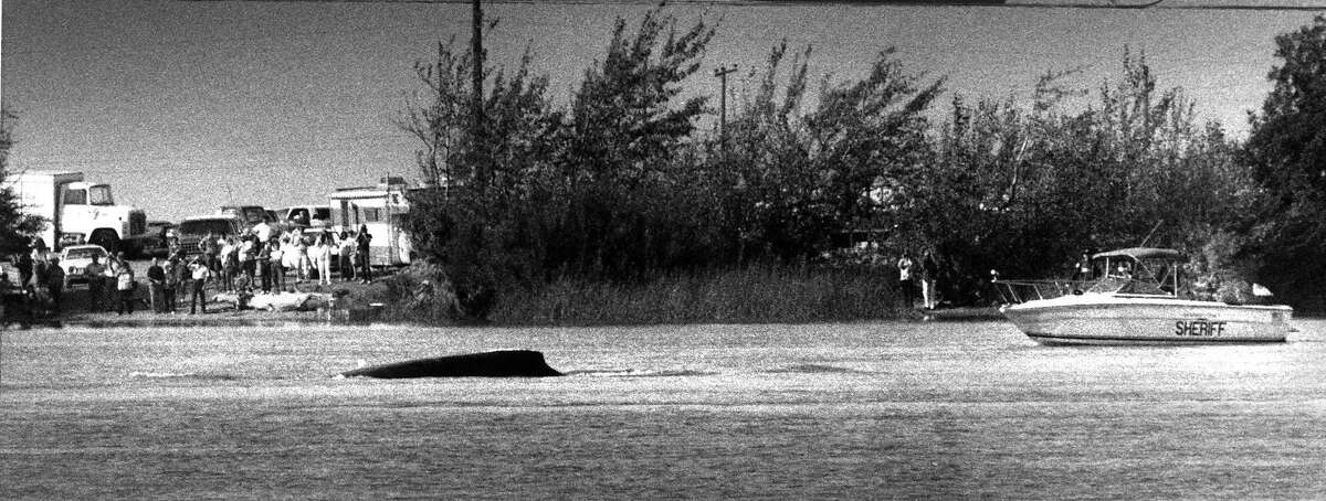 Humphrey humpback whale captured the attention of the nation after swimming up the delta near Rio Vista. This photo was shot 10/16/1985. Humphrey returned to the Pacific, nearly a month after his misadventure began, thanks in part to a massive rescue effort. He would require a second rescue on the Bay when he returned in 1990.