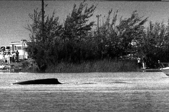 Humphrey the whale in the delta near Rio Vista  Photo shot 10/16/1985,  Humphrey the humpback whale