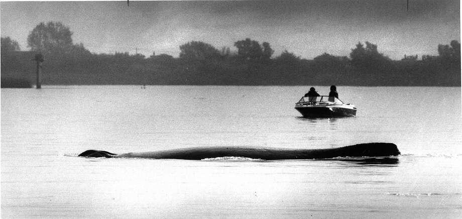 Humphrey the whale in the delta near Rio Vista. Photo: Steve Ringman, The Chronicle