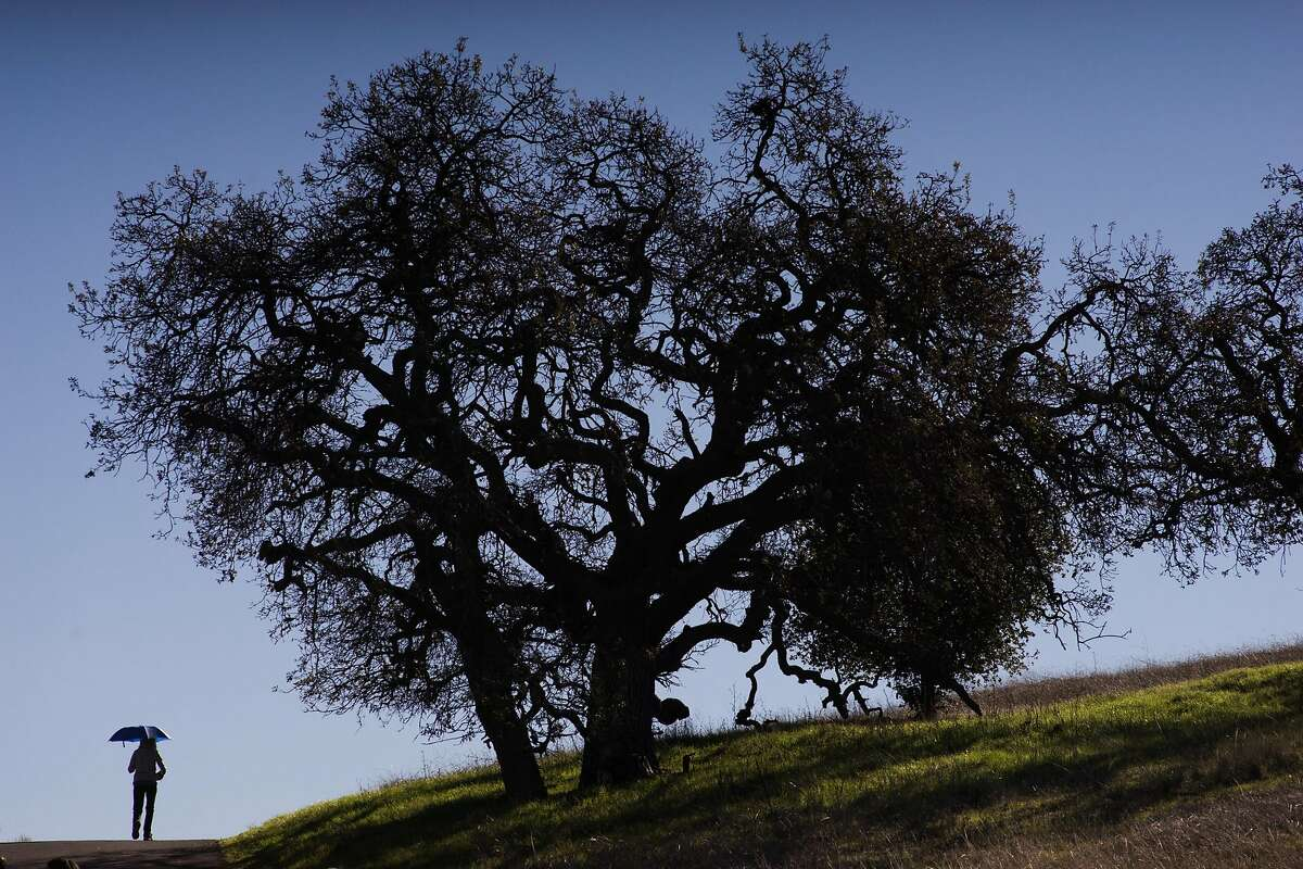 A woman walks through The Dish in Palo Alto, Calif on Tuesday, Dec. 29, 2015. A study released by the Carnegie Institution for Science estimates that 58 million trees across California are experiencing severe water loss.