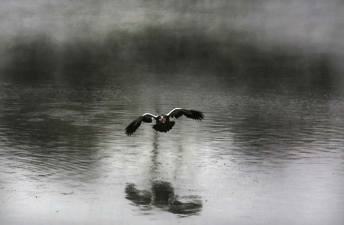 A Muscovy duck flying low prepares to land in Landa Lake in New Braunfels where steam was rising from the water after hitting the cold morning air. Tuesday Feb. 24, 2015.