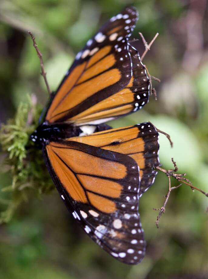 A Monarch butterfly (Danaus plexippus) at the oyamel firs (Abies religiosa) forest in Temascaltepec, Mexico on November 12, 2015. Photo: OMAR TORRES, AFP/Getty Images