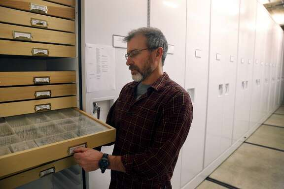 Brian Fisher, curator of entomology at the California Academy of Sciences, pulls out a drawer displaying hundreds of tiny Dracula ants, a new species discovered by Fisher in Madagascar, in San Francisco, Calif. on Wednesday, Dec. 23, 2015.