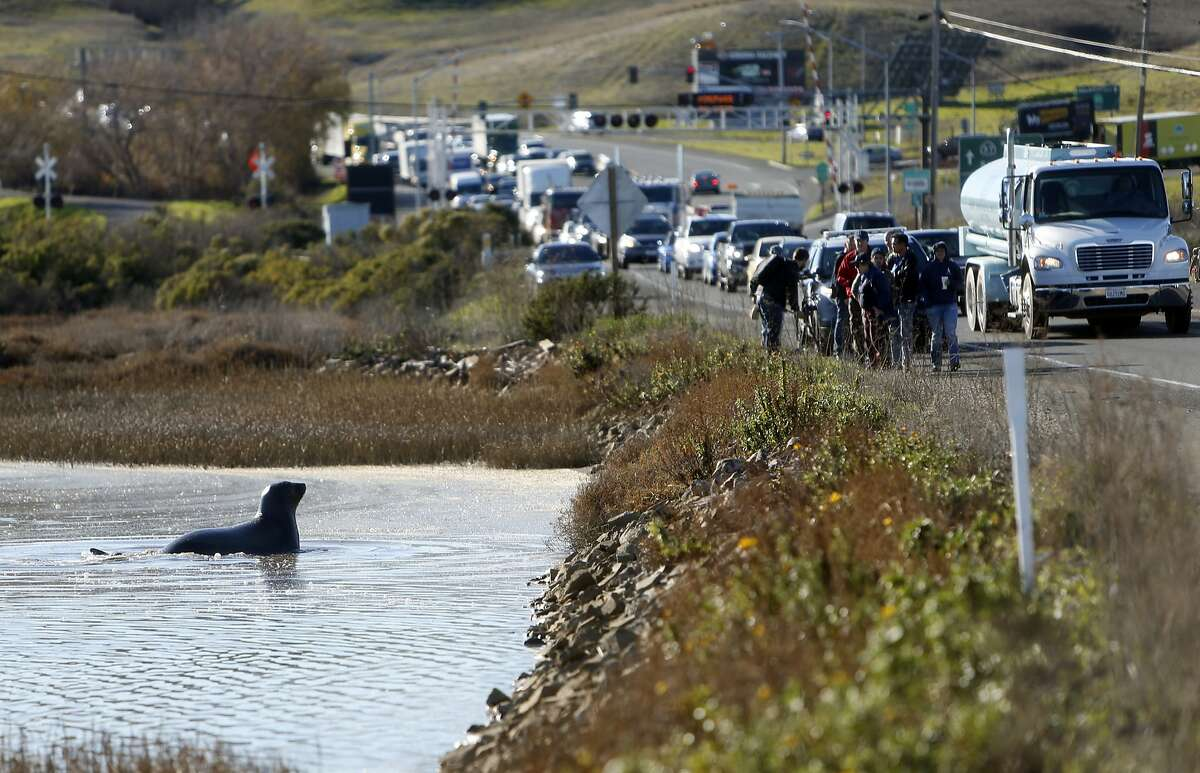 An elephant seal lays in the water along Highway 37 in Sonoma County, Calif., on Tuesday, December 29, 2015.