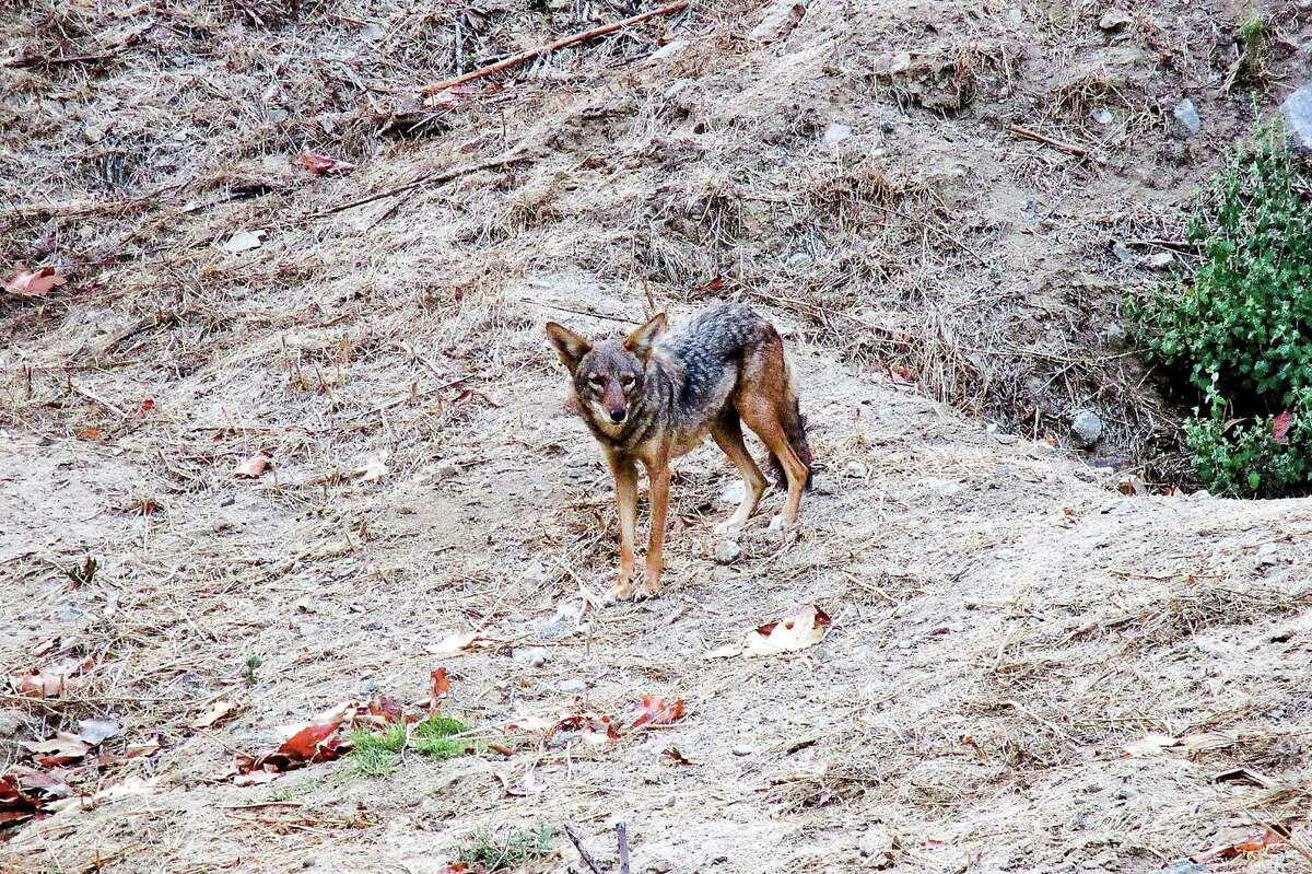 Don't let coyotes approach people or pets. If one gets close, be aggressive by standing tall, holding your arms out and making loud noises.