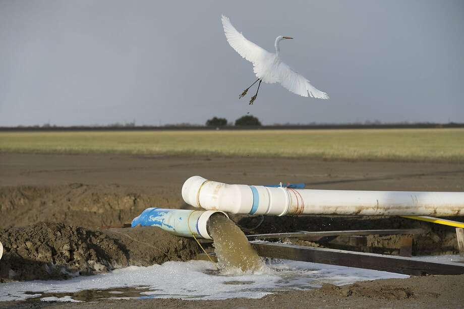 An egret flies over a canal where the Panoche Water and Drainage District in Fresno County is reusing drainage water to keep farmland alive during the state's fourth year of drought. Photo: Randy Pench, McClatchy-Tribune News Service
