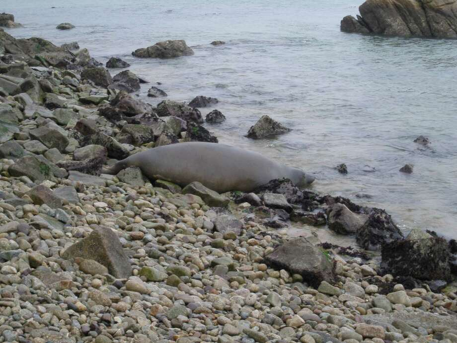 Tolay the elephant seal is seen at her initial release location at Point Reyes National Seashore.