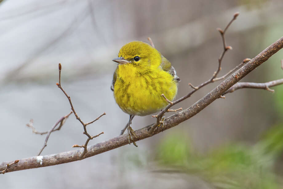 Pine warblers move out of the upper canopy as insects become scarce in the winter.  Pine warblers  sing a rapidly trilling song sounding like tserrrp-tserrrp-tserrp.  Photo Credit:  Kathy Adams Clark.  Restricted use. Photo: Kathy Adams Clark / Kathy Adams Clark/KAC Productions