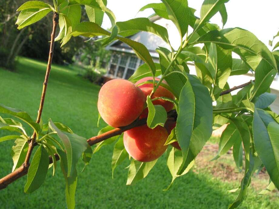 Fruit tree sales get under way now in the Houston area.