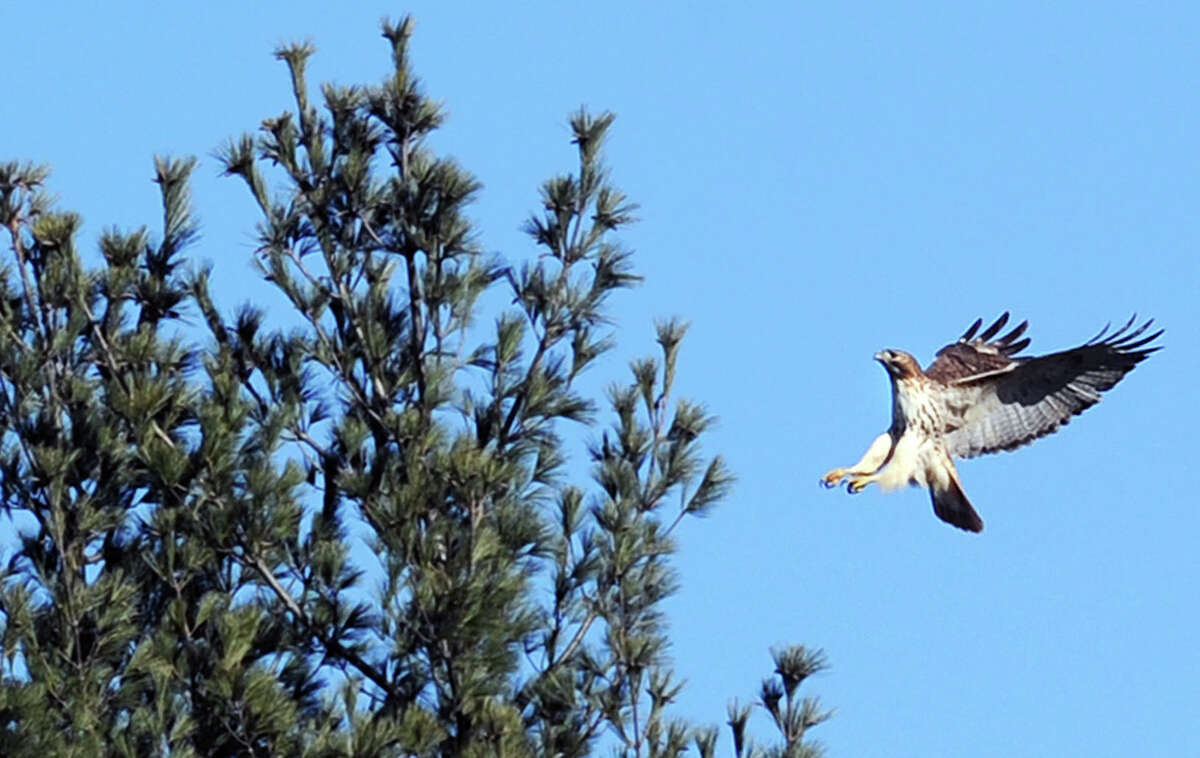 A red-tailed hawk comes in for a landing near the top of a pine tree at the Audobon property in Greenwich, Conn., Saturday afternoon, Jan. 17, 2015. Audubon Greenwich is located at 613 Riversville Road and is the site of the National Audubon Society's 285-acre sanctuary in Greenwich that was opened in 1942 as Audubon's first environmental education center. For more information about Audubon Greenwich and events held there, visit their web-site: http://greenwich.audubon.org/learn-explore.