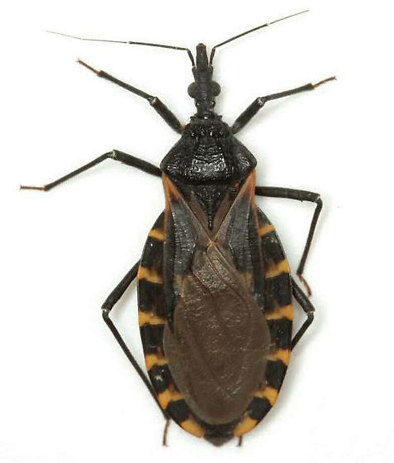 Experts say there has been an increase in the kissing bug population in Texas, potentially putting canines and humans at risk for Chagas. Photo: MIKE QUINN / COURTESY PHOTO