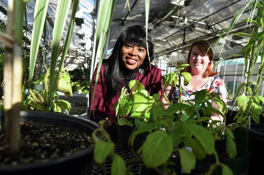 Associate Professor of Chemistry Rabi Musah, left, and graduate student Ashton Lesiak in the greenhouse where they grow plants to study their psychoactive materials on Wednesday, Nov. 25, 2015, at UAlbany in Albany, N.Y. (Cindy Schultz / Times Union) Photo: Cindy Schultz / 10034435A