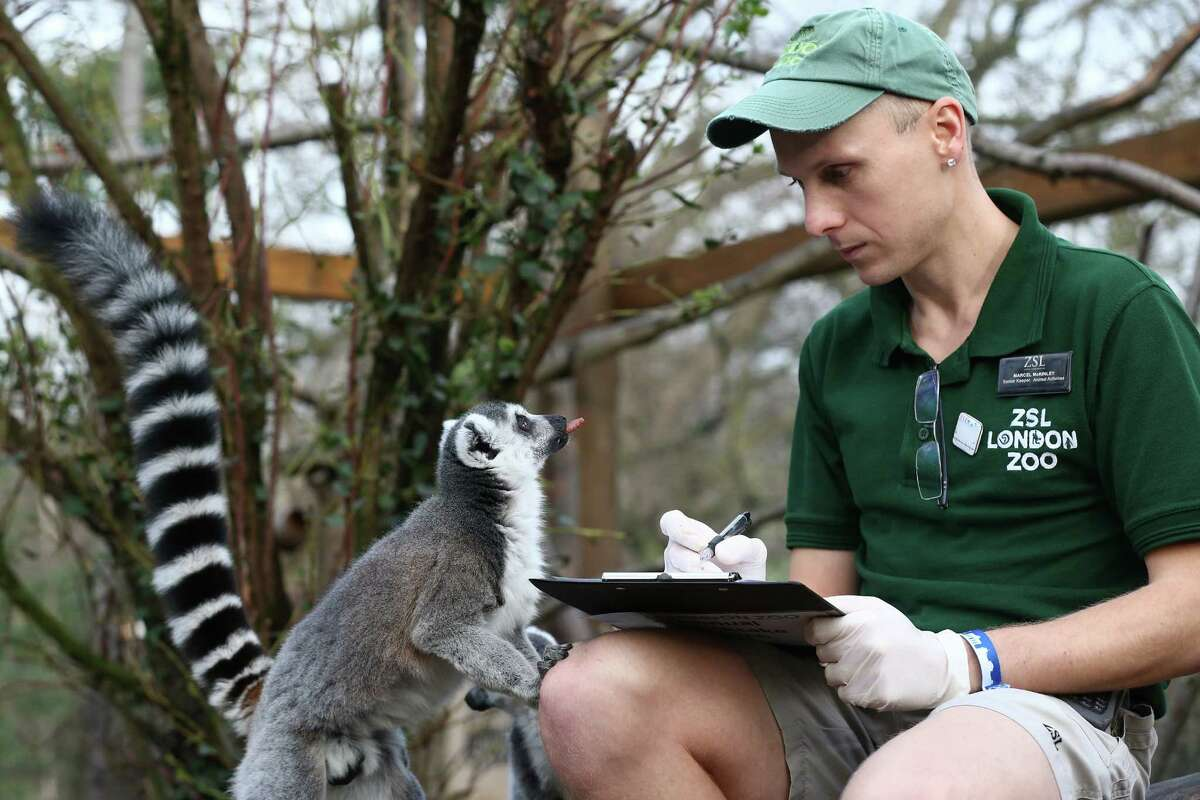 Zookeeper Marcel McKinley poses for a photograph as he counts ring tail lemurs during the annual stocktake of animals at ZSL London Zoo on January 4, 2016 in London, England. The zoo's annual stocktake requires keepers to check on the numbers of every one of the 800 different animal species, including every invertebrate, bird, fish, mammal, reptile, and amphibian.