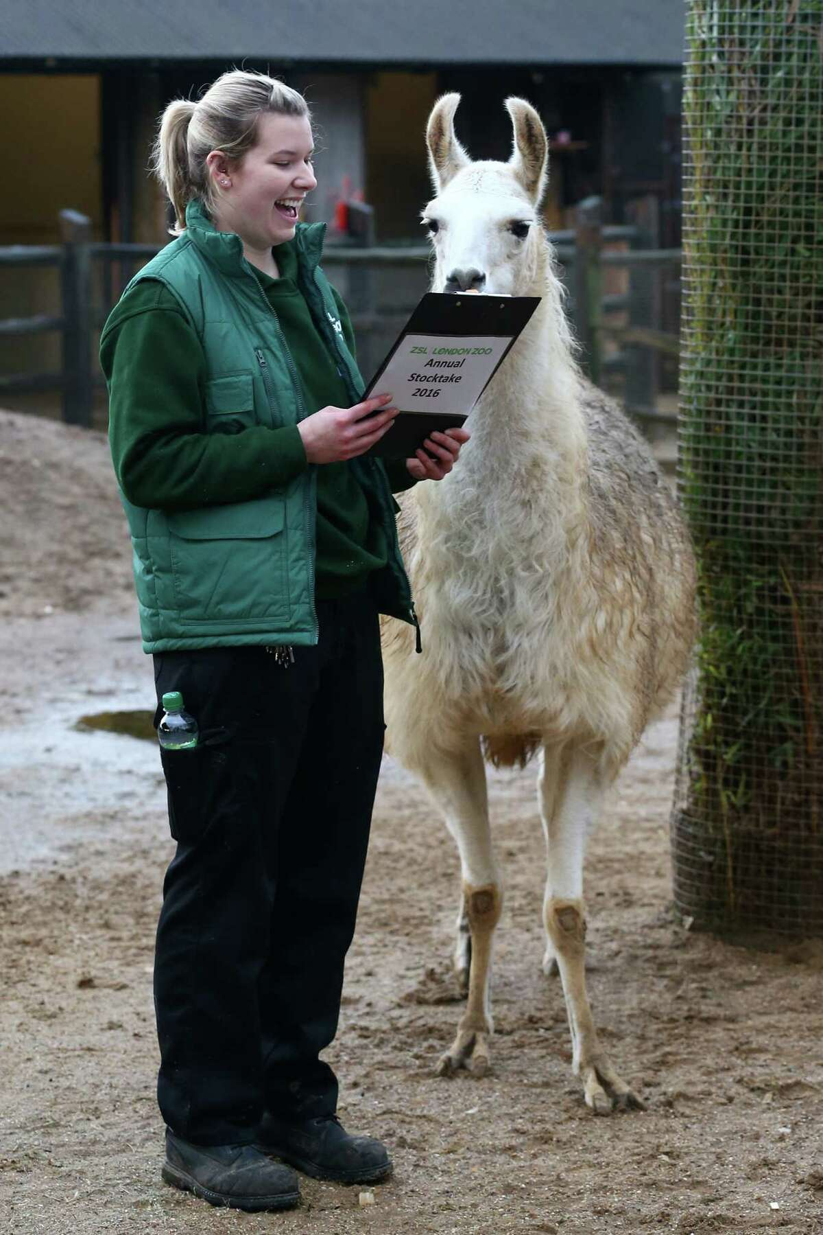 Jessica Jones handles a clipboard as she poses for a photograph with a llama during the annual stocktake of animals at ZSL London Zoo on January 4, 2016 in London, England. The zoo's annual stocktake requires keepers to check on the numbers of every one of the 800 different animal species, including every invertebrate, bird, fish, mammal, reptile, and amphibian.