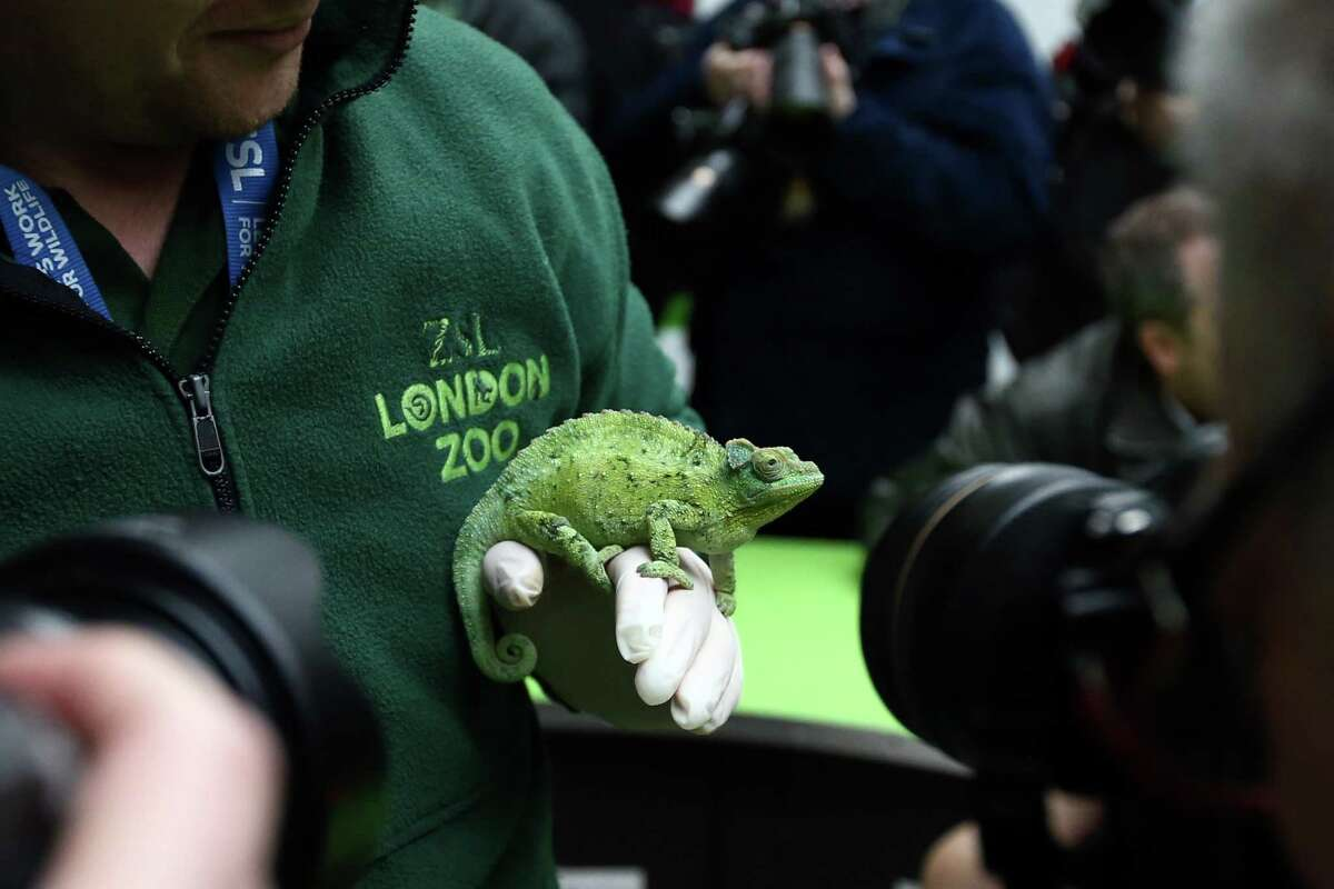A Jackson's chameleon is photographed while being handled by a zoo keeper during the annual stocktake of animals at ZSL London Zoo on January 4, 2016 in London, England. The zoo's annual stocktake requires keepers to check on the numbers of every one of the 800 different animal species, including every invertebrate, bird, fish, mammal, reptile, and amphibian.