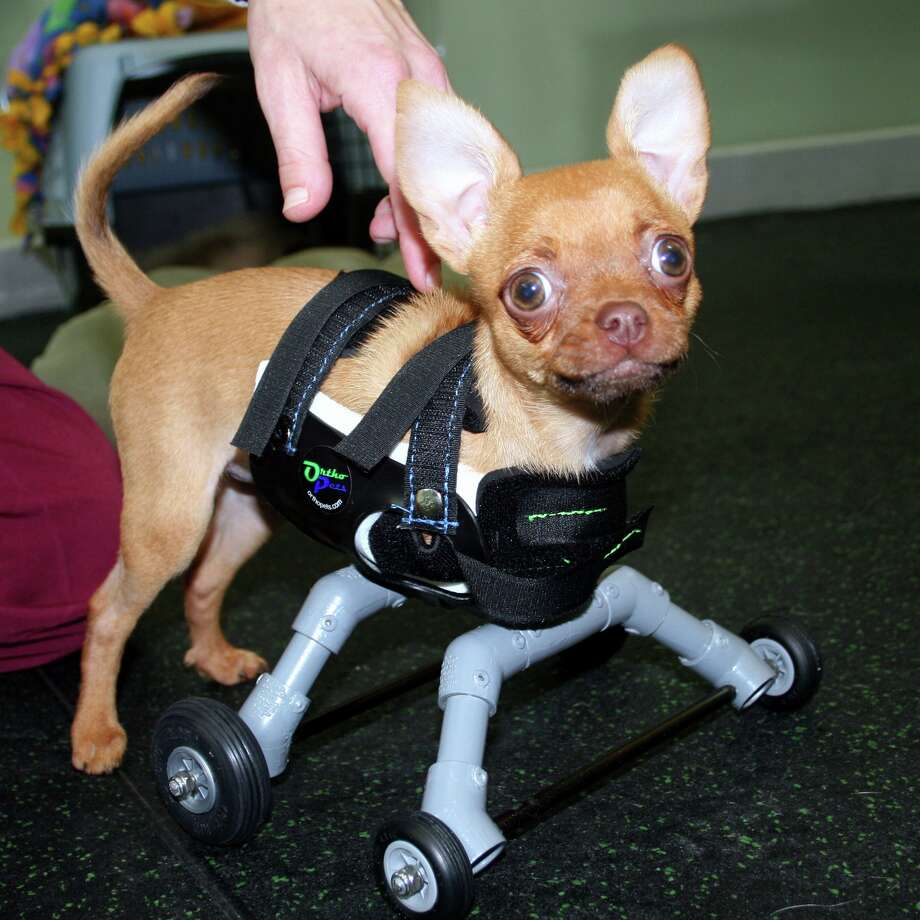 A chihuahua named Daffodil who is missing her front legs found new hope when the SF SPCA helped her get a set of prosthetic wheels. Photo: Picasa, SF SPCA