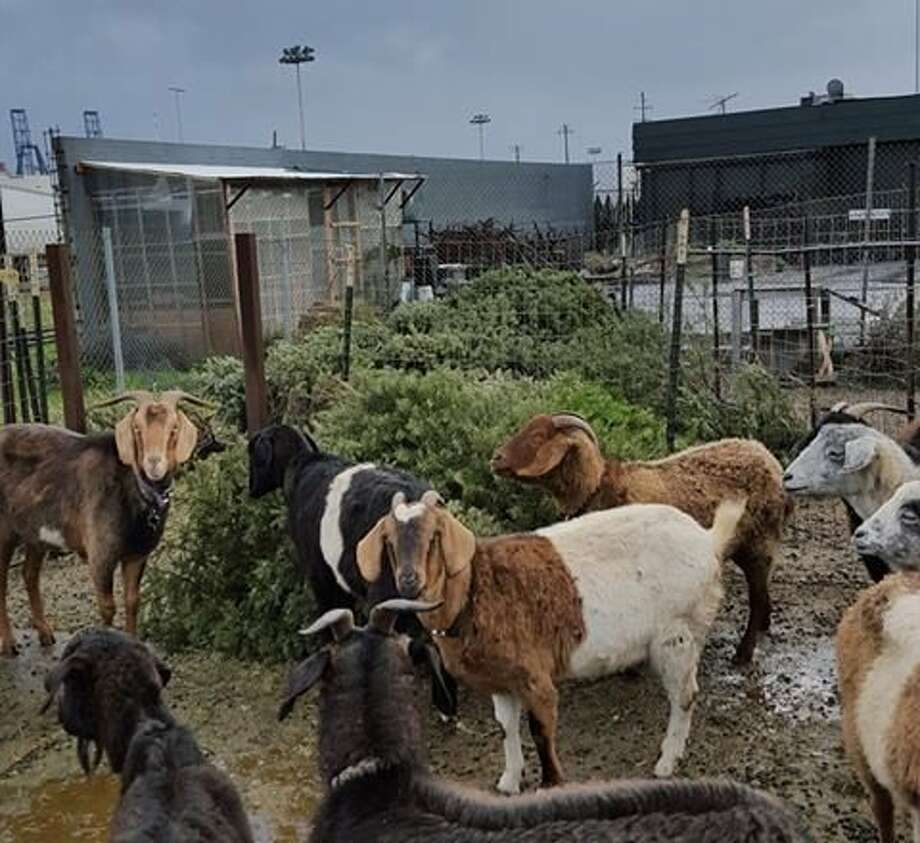 City Grazing bit off more than it could chew in committing its goats to eat endless trees. Photo: Courtesy, City Grazing