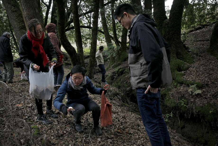 Mushroom hunters, including Nicole Lew (center), seek their treasure. Photo: Preston Gannaway, Special To The Chronicle