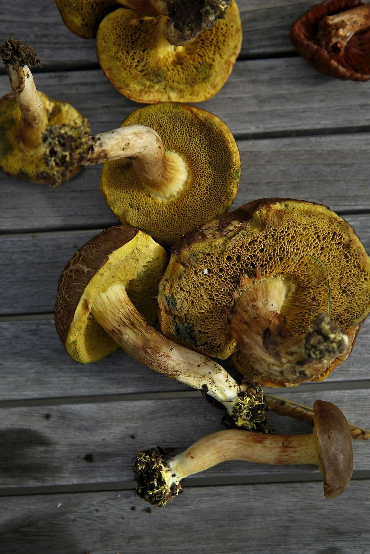 Non-edible mushrooms from the bolete group that were gathered by participants during a wild mushroom foray near Healdsburg, Calif., on Sunday, December 27, 2015.