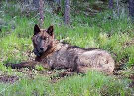 A photo from the Oregon Department of Fish and Wildlife shows a collared wolf from Oregon, a 3-year-old male known as OR 25, who is believed to have entered California in December 2015.