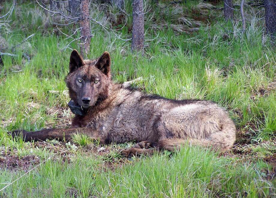A photo from the Oregon Department of Fish and Wildlife shows a collared wolf from Oregon, a 3-year-old male known as OR 25, who is believed to have entered California in December 2015. Photo: Oregon Fish And Wildlife