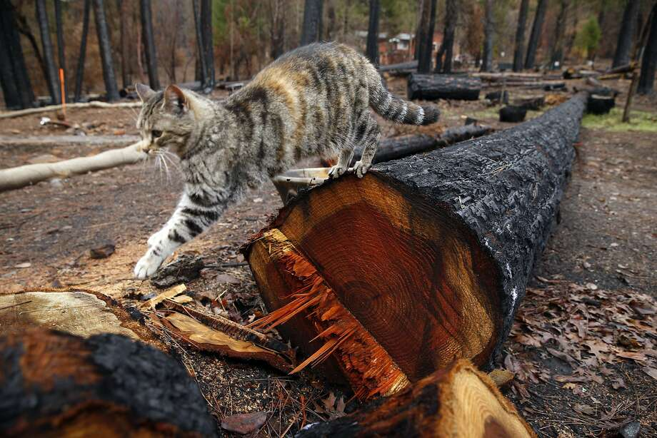 Piper, Scotty Allen's cat, jumps off a felled redwood tree on the homeowner's property in Cobb (Lake County). Photo: Scott Strazzante, The Chronicle