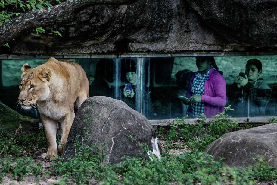 Visitors watch a female lion from an underground tunnel at the Houston Zoo.Take a virtual tour of the Houston Zoo on Google Streetview ... Photo: Michael Ciaglo, Staff / © 2015  Houston Chronicle