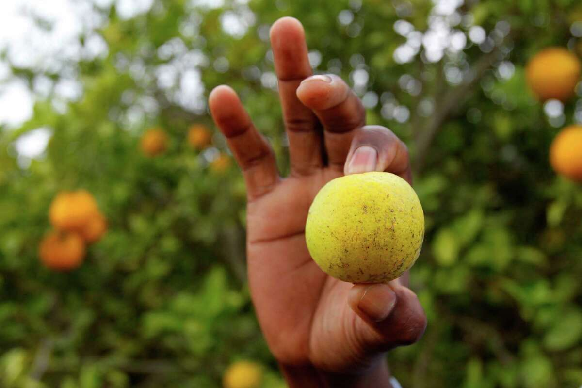 This orange shows signs of citrus greening disease. In Texas, citrus greening was first detected in a commercial orange grove in Hidalgo County about four years ago. The disease is carried by an insect called the Asian citrus psyllid.