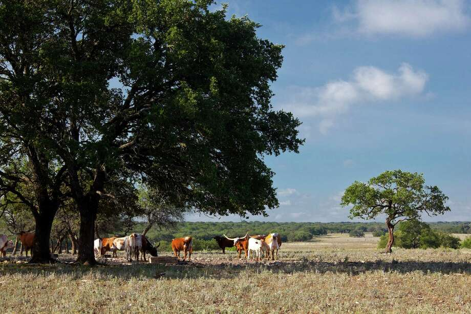 Texas, Kerr County, Hill Country, YO Ranch, Live Oak Ranch area, oaks and field with longhorn cattle Photo: Courtesy, Laurence Parent / ©Laurence Parent.  All rights reserved.