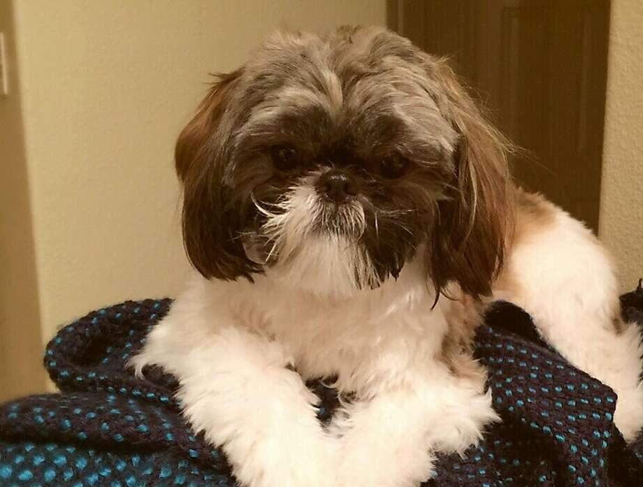 Zizzi, an 11-month-old shih tzu puppy, was stolen from a Fremont home Friday, jan. 8, 2015. Photo: Courtesy, Fremont Police Department