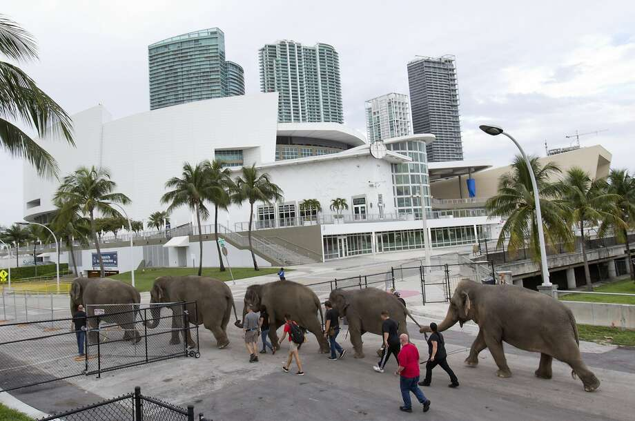 Elephants belonging to Ringling Bros. and Barnum & Bailey Circus are led to a rehearsal area in Miami. Photo: Wilfredo Lee, Associated Press