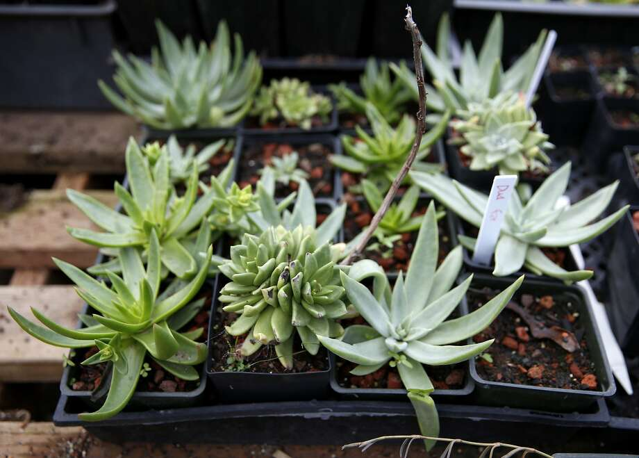 Succulents at Candlestick Point Native Plant Nursery in San Francisco, California, on Tuesday, Jan. 12, 2016. Photo: Connor Radnovich, The Chronicle