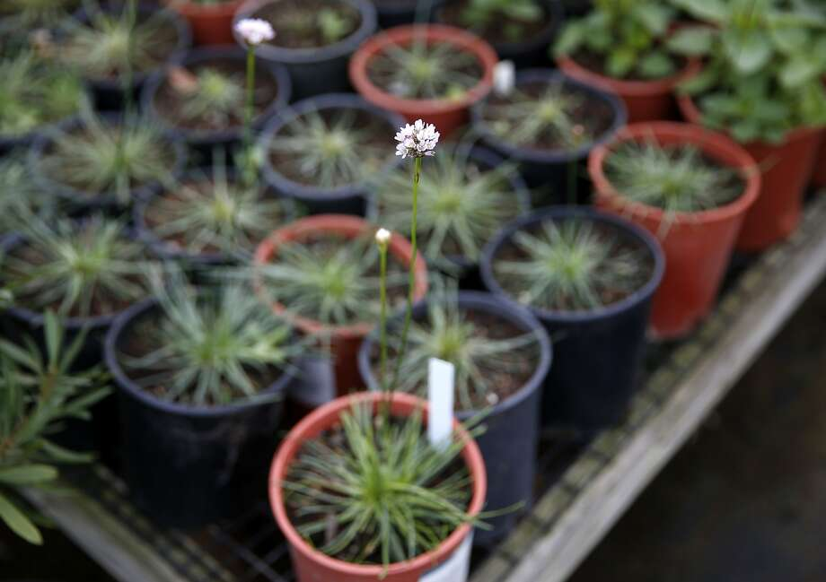 A flowering Sea Thrift at Candlestick Point Native Plant Nursery in San Francisco, California, on Tuesday, Jan. 12, 2016. Photo: Connor Radnovich, The Chronicle