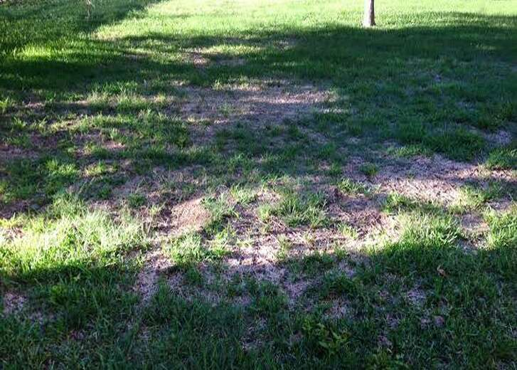 Even with good care, St. Augustine grass will die in shade.