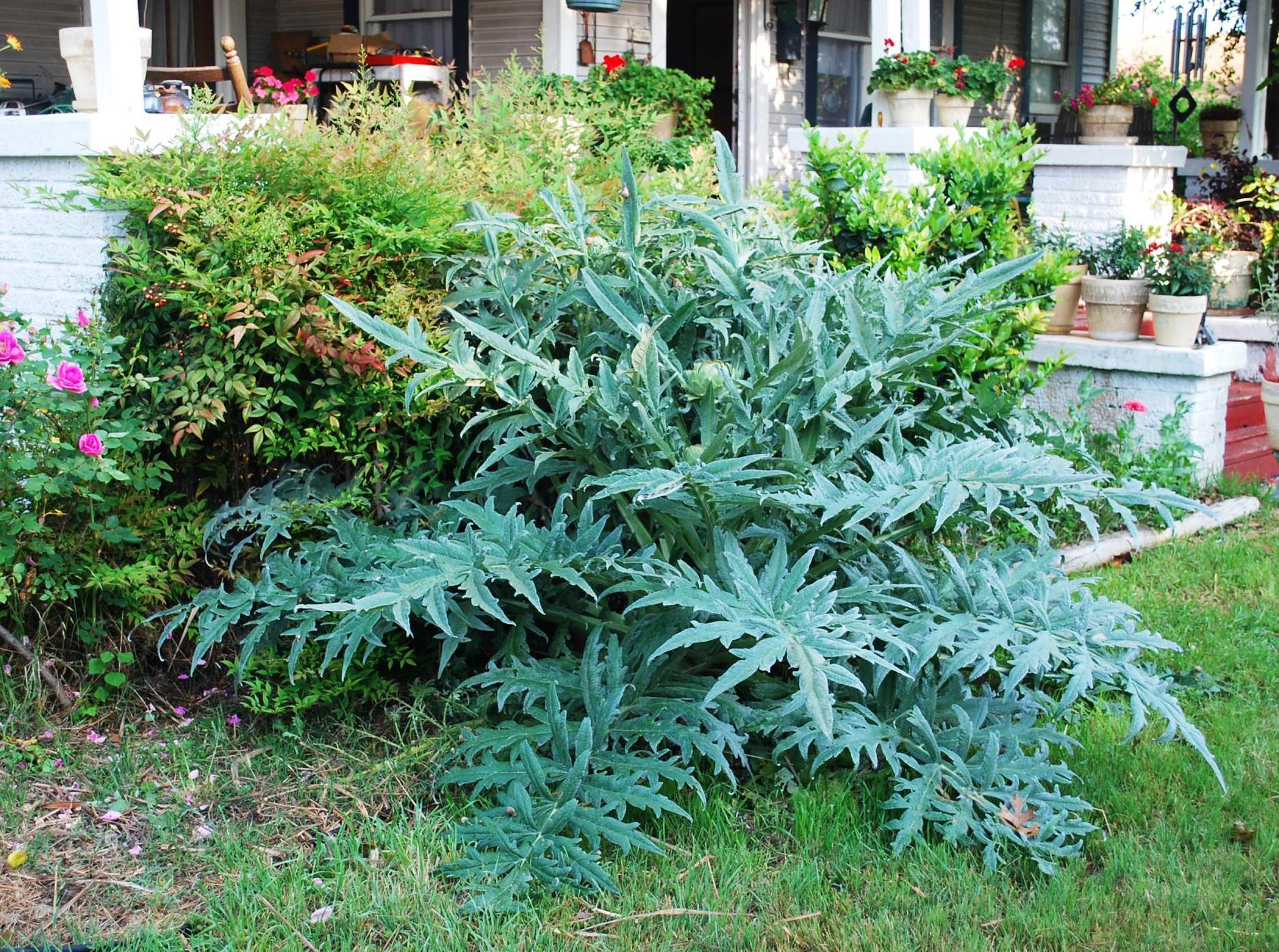 Edible plants add beauty — and tastiness — to gardens - San Antonio ...