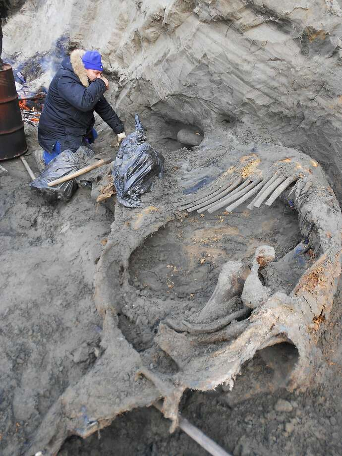 A volunteer works at the excavation site of a mammoth carcass in Russia's Siberia region. Photo: Alexei Tikhonov, Associated Press