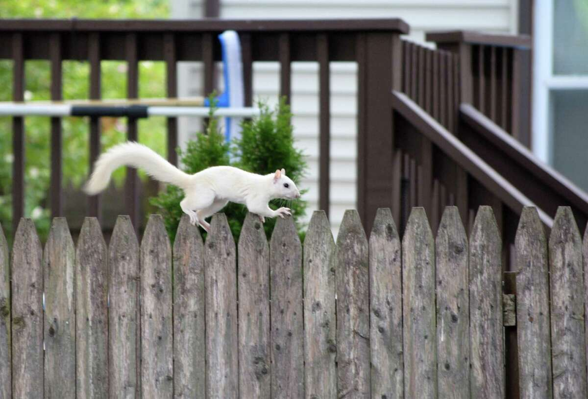 A white squirrel was spotted in a Stratford backyard on Wednesday August 11, 2010. Sightings like these are rare, especially in CT. I