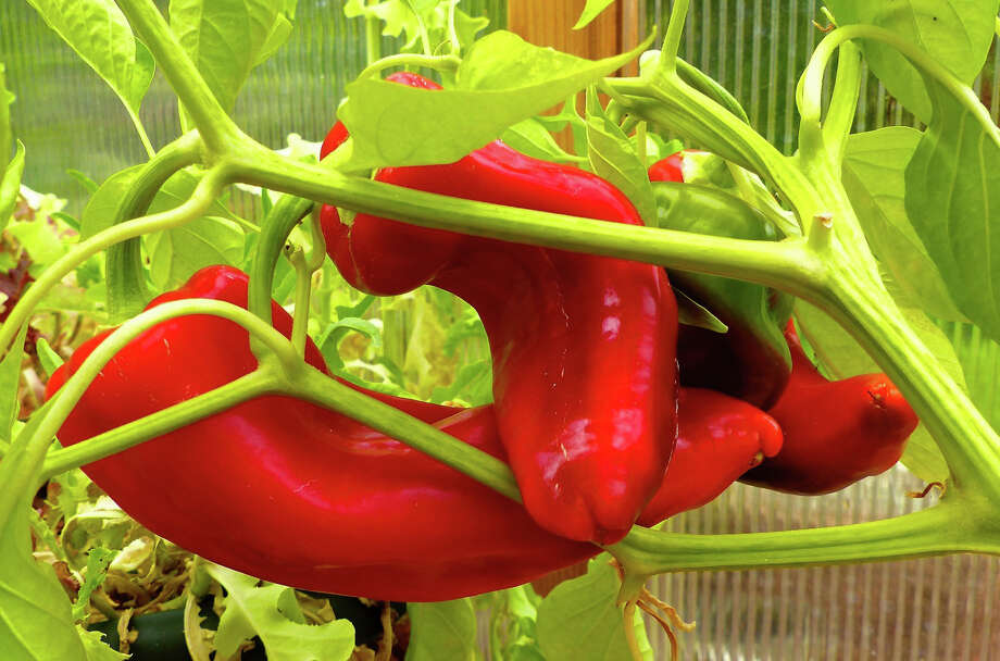 (Burpee) Sweet Thunderbolts are a giant among pepper varieties, growing 10 to 13 inches long. They're also big in flavor and a favorite for baking and grilling. Photo: Dean Fosdick, HONS / Dean Fosdick