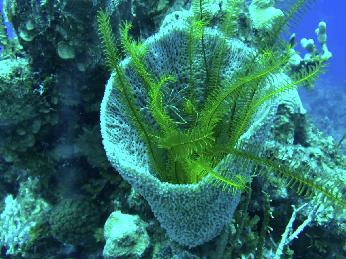 The reef is filled with an amazing amount of aquatic life, including yellow feather star, seen here at about 60 feet below the surface. Reef divers can also glimpse turtles, crabs, lobster, sharks, rays, grouper and an array of fish.