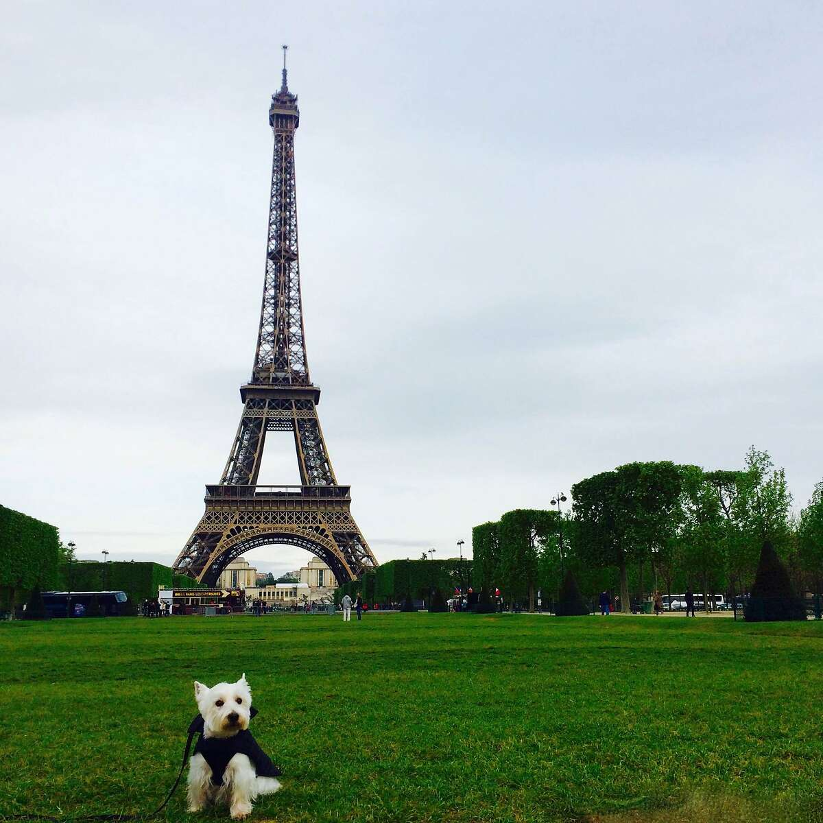 Gibson's Westie, Wesley, in front of the Eiffel Tower.