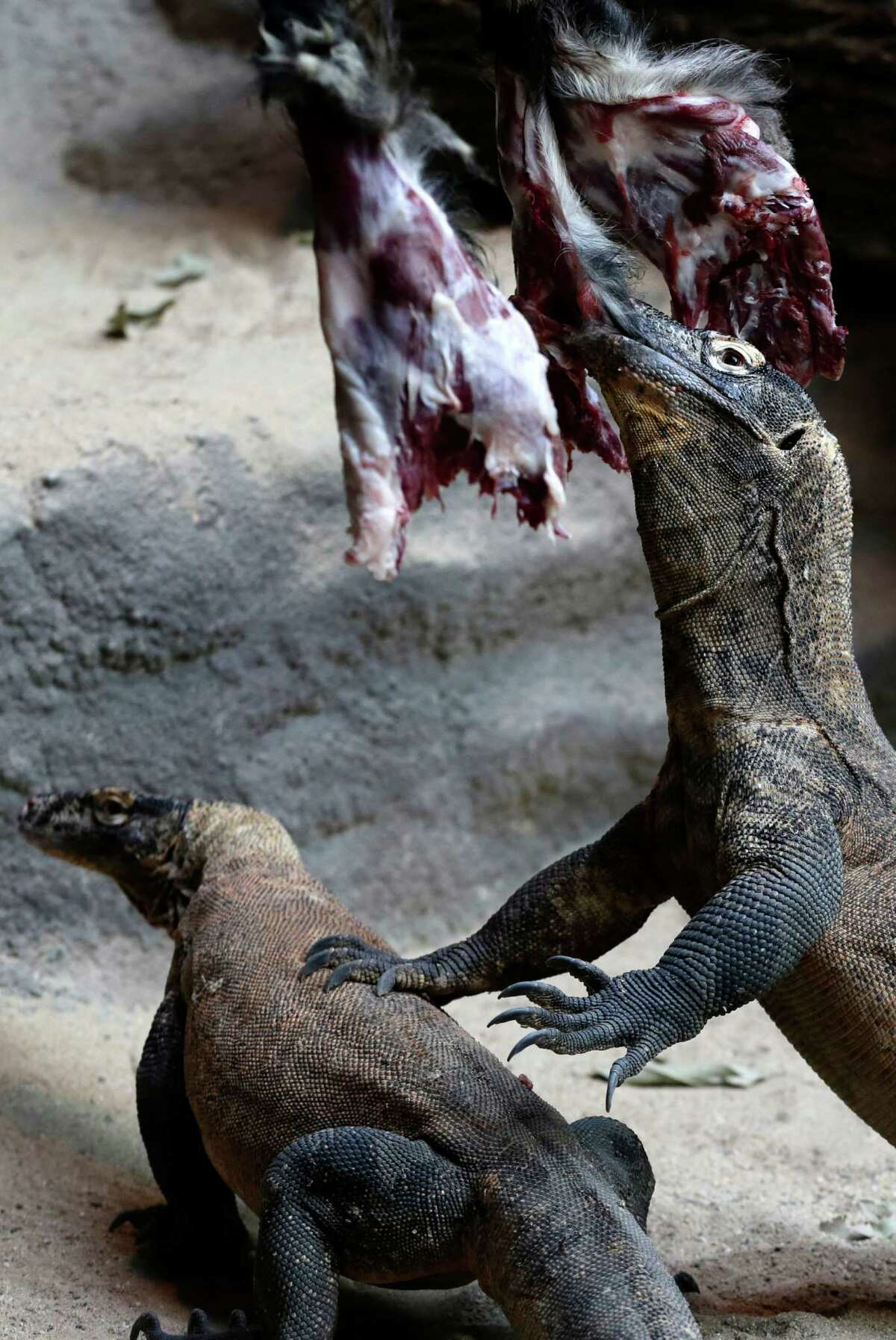Komodo dragons feed on meat at an enclosure in Prague's Zoo, Czech Republic, Saturday, Jan. 16, 2016.
